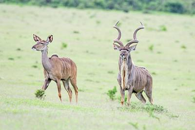 Kudu Bull And Cow In The Open Grasslands Print by Peter Chadwick
