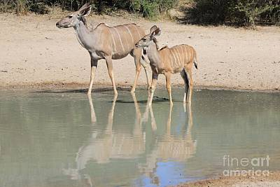 Priska Wettstein Pink Hues - Kudu Calf Reflection by Hermanus A Alberts