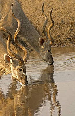 Art Print featuring the photograph Kudus by Dennis Cox WorldViews