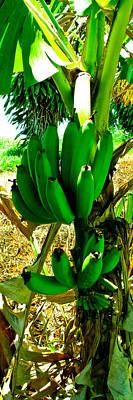 Photograph - Kukaniloko Bananas by Brian Gibson