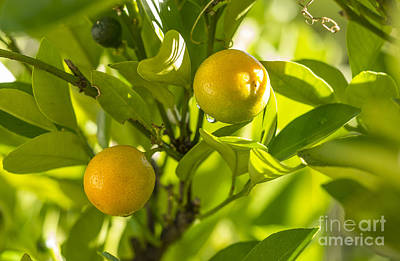 Photograph - Kumquats by Steven Ralser