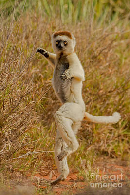 Kung Fu Lemur Art Print by Ashley Vincent