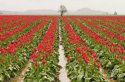 Photograph - Kung Fu Tulip Perspective by Mark Kiver