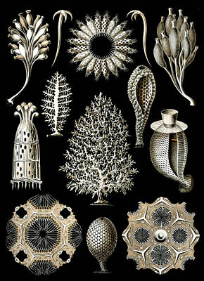Kunstformen Der Natur. Calcispongiae Art Print by Adolf Giltsch