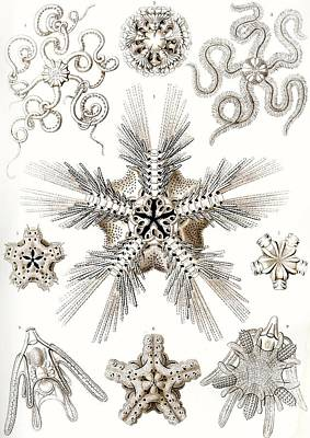 Microscopic Painting - Kunstformen Der Natur by Ernst Haeckel