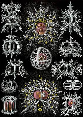 Kunstformen Der Natur. Stephoidea  Art Print by Adolf Giltsch