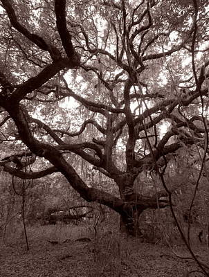 Photograph - La Chua Trail Oak by Sheri McLeroy