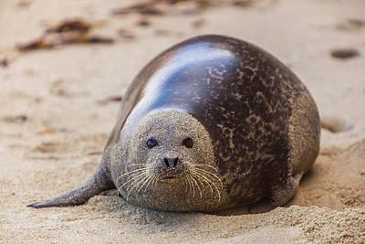 Phoca Vitulina Photograph - La Jolla Cove, San Diego, Harbor Seal by Michael Qualls