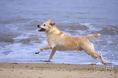 Labrador Cross Dog Running Print by Geoff du Feu