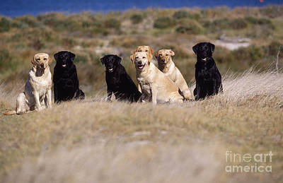 Labrador Dogs Waiting For Orders Art Print by Chris Harvey