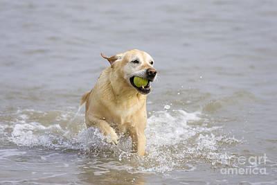 Dog Retrieving Photograph - Labrador-mix Retrieving Ball by Geoff du Feu
