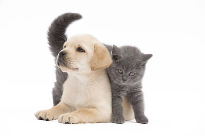 Chartreux Wall Art - Photograph - Labrador Puppy And Chartreux Kitten by Jean-Michel Labat