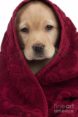 Pet Care Photograph - Labrador Puppy In Towel by Jean-Michel Labat