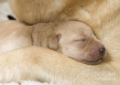 Pet Care Photograph - Labrador Puppy On Mother by Jean-Michel Labat