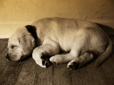 Photograph - Labrador Puppy Taking A Nap by Abram House