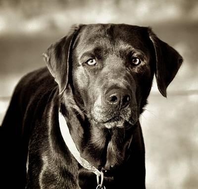 Photograph - Labrador Retriever by Kristina Deane