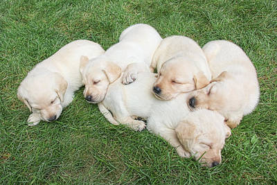 Sleeping Puppy Photograph - Labrador Retriever Puppies Nap Time by Jennie Marie Schell