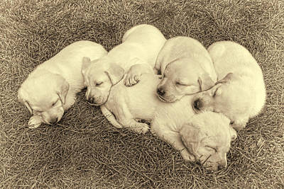 Sleeping Puppy Photograph - Labrador Retriever Puppies Nap Time Vintage by Jennie Marie Schell