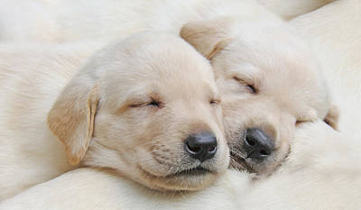 Sleeping Puppy Photograph - Labrador Retriever Puppies Sleeping  by Jennie Marie Schell