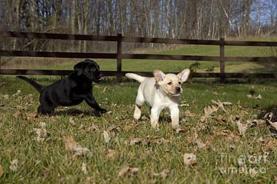 Labrador Retriever Pups Art Print by Linda Freshwaters Arndt