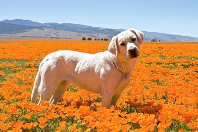 Tail Photograph - Labrador Retriever Standing In A Field by Zandria Muench Beraldo
