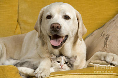 Mixed Labrador Retriever Photograph - Labrador With Cat by Jean-Michel Labat