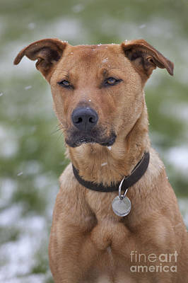 Id Tag Photograph - Labradormalinois Mix by Johan De Meester