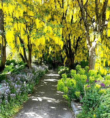 Photograph - Laburnum Golden Chain Tree by Nikki Dalton