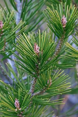 Lace-bark Pine (pinus Bungeana) Art Print by Dr. Nick Kurzenko