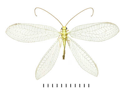 Chrysopidae Photograph - Lacewing by Natural History Museum, London