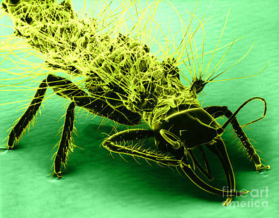 Chrysopidae Photograph - Lacewing, Sem by David M. Phillips