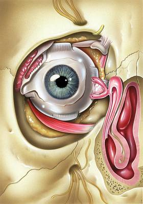 Lacrimal Apparatus Of The Eye Art Print