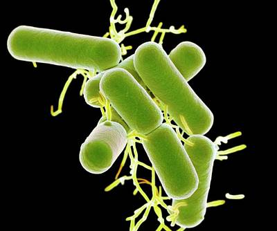 Fermenting Photograph - Lactobacillus Bacteria by Science Photo Library