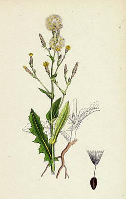 Botanica Drawing - Lactuca Scariola Prickly Lettuce by English School