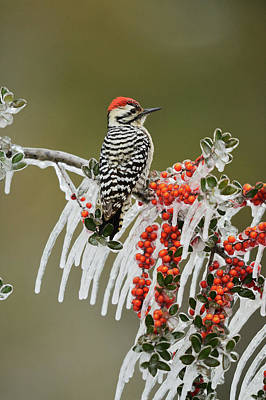 Picoides Photograph - Ladder-backed Woodpecker (picoides by Rolf Nussbaumer