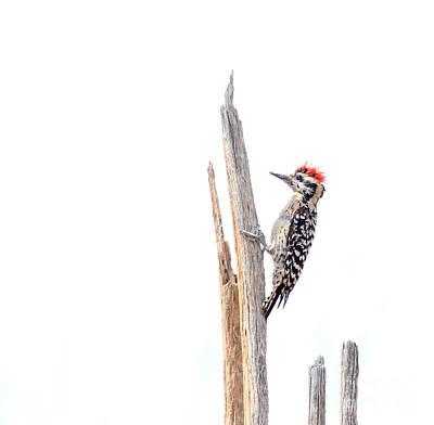 Ladder-backed Woodpecker Art Print by Ruth Jolly