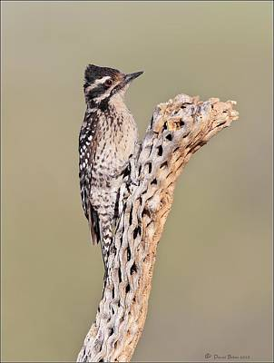 Photograph - Ladderbacked Woodpecker by Daniel Behm