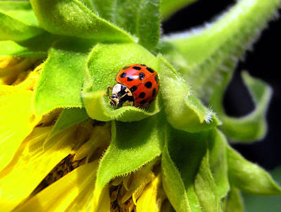 Photograph - Ladybug And Sunflower by Christina Rollo