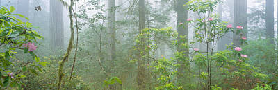 Fir Trees Photograph - Lady Bird Johnson Grove Of Old-growth by Panoramic Images