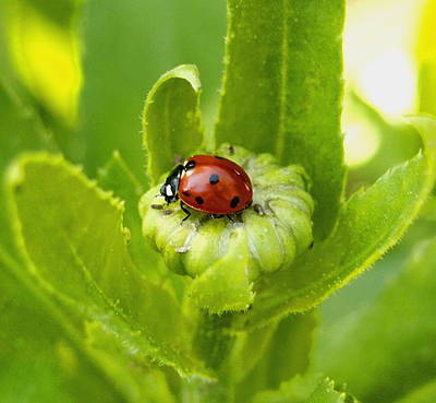 Lady Bug In The Garden Art Print