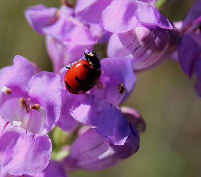 Photograph - Lady Bug On Snapdragon by Trent Mallett