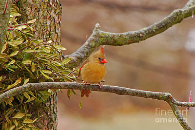 Photograph - Lady Cardinal by Mary Carol Story