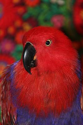 Photograph - Lady In Red - Portrait Of Eclectus Parrot Victoria by Andrea Lazar