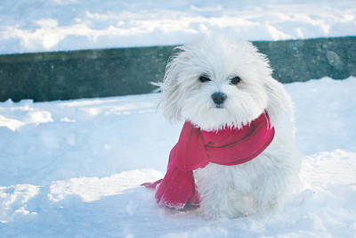 Coton Tulear Photograph - Lady In Red by Sharron Johnson