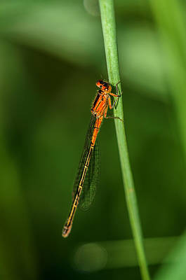 Dragonfly Photograph - Lady In Red by Susan Capuano
