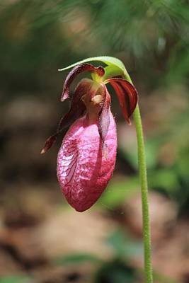 Photograph - Lady Slipper At Moore State Park Close Up 2 by Michael Saunders