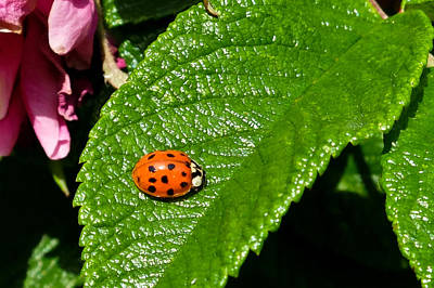 Photograph - Ladybird 2 by Michele Wright