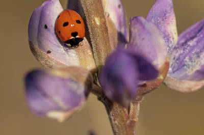 Ladybird Beetle On Lupine Flowers Art Print by Rob Sheppard