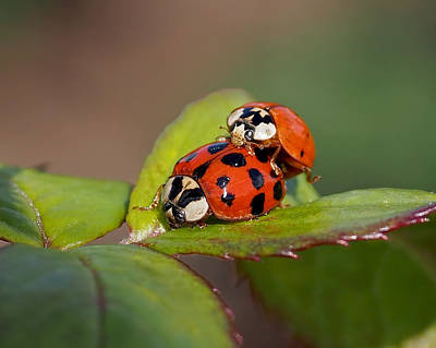 Copulation Photograph - Ladybird Coupling by Rona Black