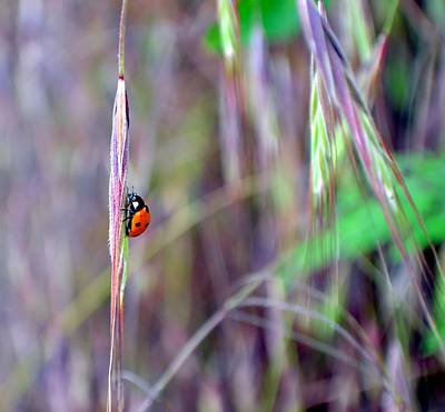Photograph - Ladybird by Deena Stoddard